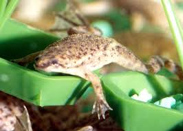 african frogs