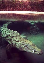 american crocodile endangered