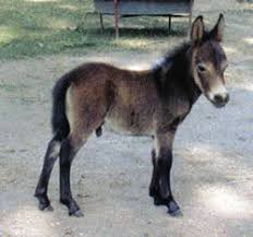 miniature mules for sale