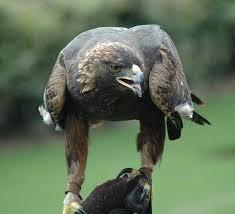 american golden eagle