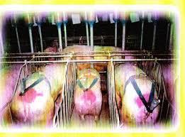 inseminacion artificial en cerdos