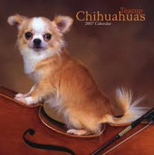 long hair chihuahuas for sale