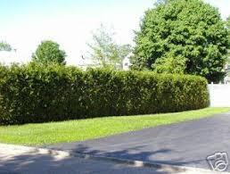 cedar hedges