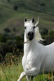 arabian horses photos