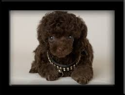 chocolate brown poodles
