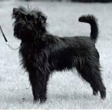 affenpinscher breed