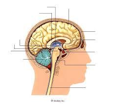 diagrams of the brain