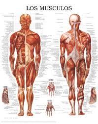 los musculos humanos