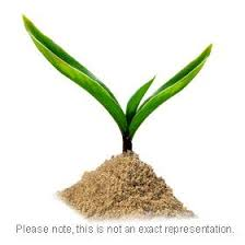 date palm seeds
