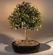 cherry bonsai trees