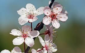 blossom picture