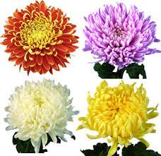 mums flower