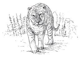 how to draw a tigers