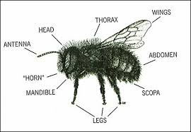 diagram of a bee