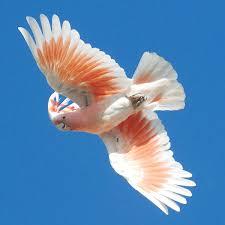 australia parrots