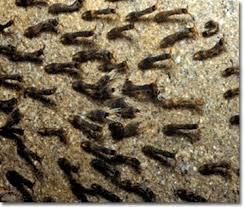 black fly larva