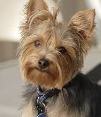 pictures of yorkshire terrier dogs