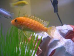 orange cichlids