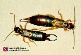 earwigs insects