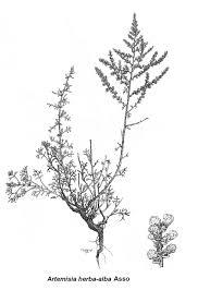 artemisia herba