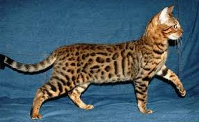 spotted bengal kittens
