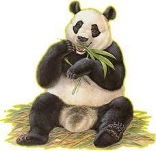 animals panda