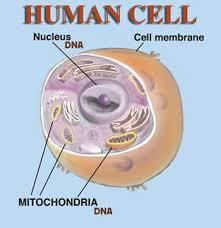 pictures of human cells