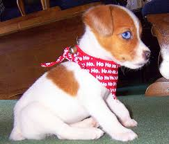 cutest jack russell