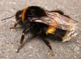 bumblebee photos