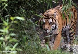 rainforest tigers