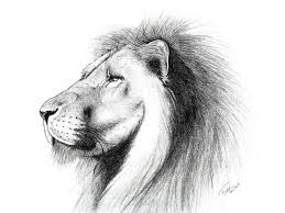 how to draw a real lion