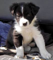 border collie dog picture
