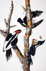 ivory billed woodpecker picture