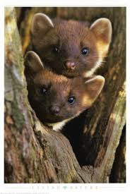 http://t0.gstatic.com/images?q=tbn:sSlsqiYpaueQTM:http://imagecache2.allposters.com/images/pic/EUR/2400-4742~Pine-Martens-Posters.jpg&t=1
