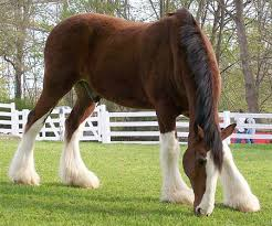 clydesdale horse photos