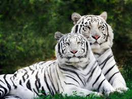 free white tiger wallpaper