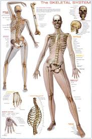 picture of skeleton system