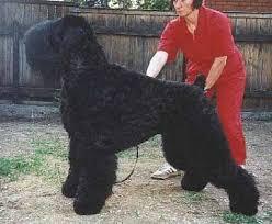 black russian dogs