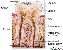 dental tooth anatomy