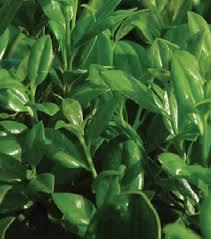 hollies shrubs
