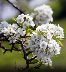 oriental fruit tree