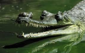 gharial photos