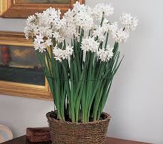 paper whites flowers