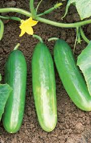 pictures of cucumber plants