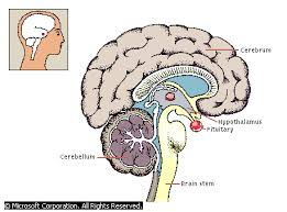 endocrine system pituitary gland