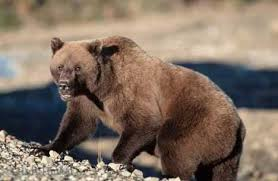 images of grizzly bears