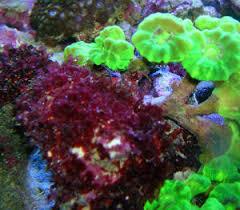 marine alga