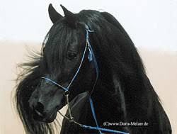 black arabian stallion for sale
