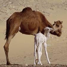 camel fat