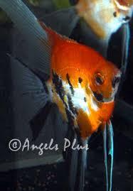 angelfish koi